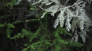albino redwoods